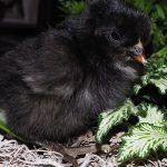 Orpington-kuiken-zwart
